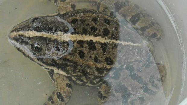 photos de la faune : grenouille