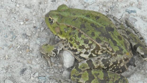 photos de la faune : grenouille dos