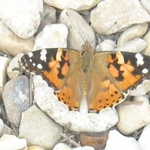photos de la faune : papillon