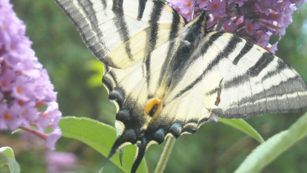 photos de la faune : papillon blanc
